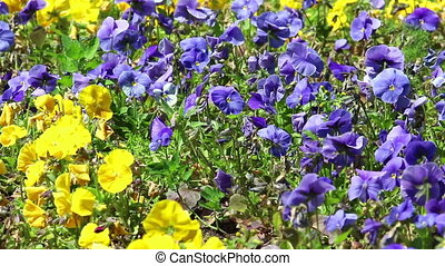 Background of violet and yellow flowers of pansy on light...