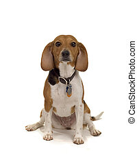Just a beagle - cute beagle female - typical pet dog