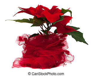 Star of Bethlehem flower - Poinsettia Christmas Flower...
