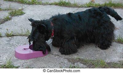 Scottish Terrier drinking water