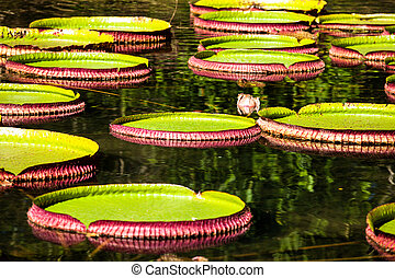 Victoria Regia, the world's largest leaves, of Amazonian...