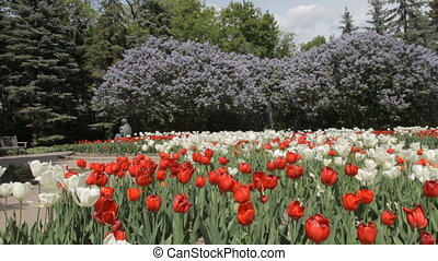 Lilac in the park in summer - Red and White Tulips and Lilac...