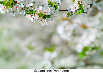 Apple tree branch in bloom in springtime