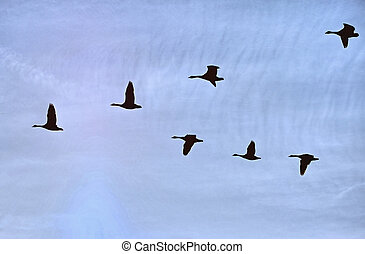 Geese flight 53 - Flight of geese king their way towards...