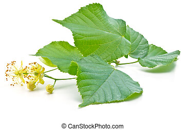 linden flowers - flowers and green leaves of a linden