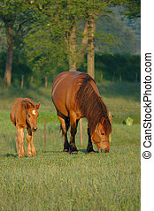 mare with foal - mare with her foal grazing