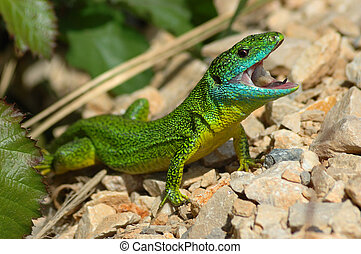 Green lizard Lacerta bilineata in a threatening