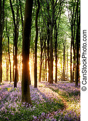 Bluebells in sunrise light - Bluebell sunrise in long tree...