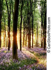 Bluebells in sunrise light - Bluebell sunrise in long tree...