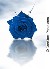 Single blue rose - Blue sigle rose on a white backgroud