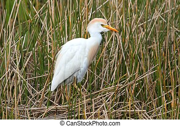 Cattle Egret Bubulcus ibis in the Florida Everglades