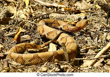 A southern copperhead snake slithering among the ground...