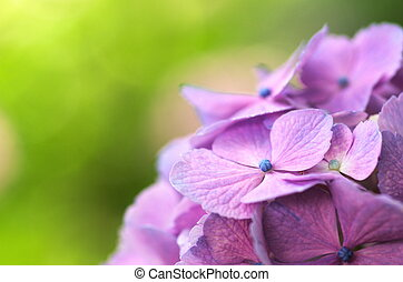 purple hydrangea in green - this photo is taken in Gamagori...
