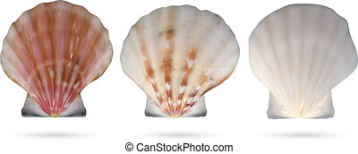 Scallop seashells isolated on white background. Vector...