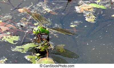 big dragonfly laying eggs front view closeup