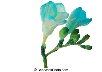 Freesia - Blue freesia close up, isolated on white...