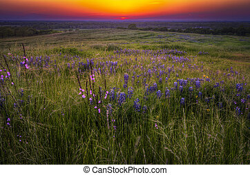 Grasses and Bluebonnets at Sunset - Wildflower field in...