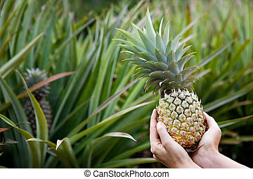 Pineapple Garden - Fresh Pineapple held in hands in a...