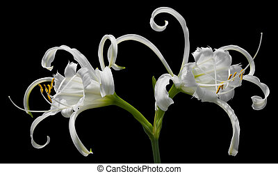 White Spider Lily - Pure white Spider Lily flowers...