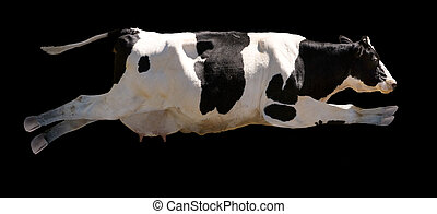 Flying Cow - A flying cow isolated on black