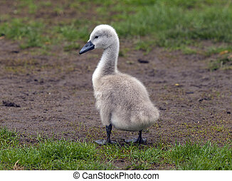 Cygnet - young cygnet on grass