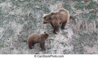 bears, spring