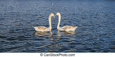 Two young swans together in a pond