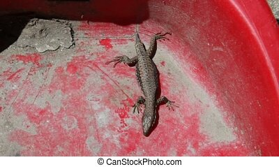 no tail lizard - a mutilated lizard on red plastic dustpan