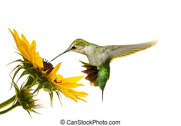 Hummingbird isolated - Ruby throated hummingbird, juvenile...