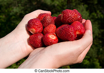 Fresh Picked Strawberries - A pair of hands holding freshly...