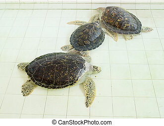 green turtle or Chelonia mydas in pond - three green turtle...