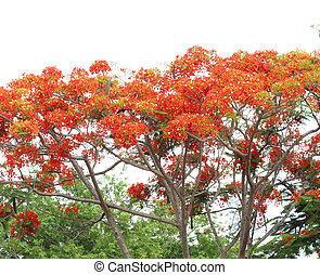 Peacock flower Pride of Barbados on the tree