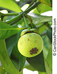 Young mangosteen on tree - Young mangosteen Garcinia...