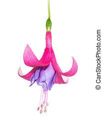 flowers of a fuchsia isolated on white background - flowers...
