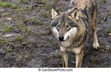Eurasian wolf - Closeup of a wolf head.