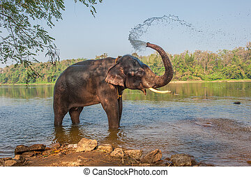Elephant bathing, Kerala, India