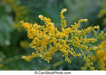 Ragweed Flowers Close Up - Close up of yellow ragweed...