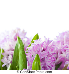 Beautiful Hyacinths - Beautiful Pink Hyacinths  over white