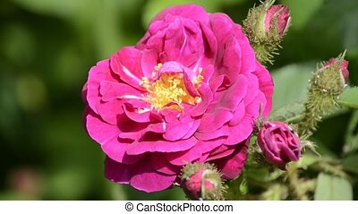 rose - old english rose with bloom