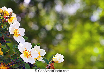 brier flowers with copyspace