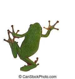 European tree frog isolated on white background, Hyla...