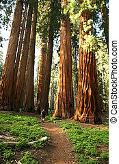 Man Hiking on Trail Next to Redwood Grove - Male Hiker in...