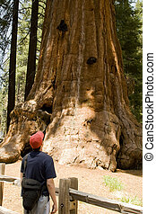 Hiker Looking up at a Giant Sequoia Tree - Hiker Looking up...