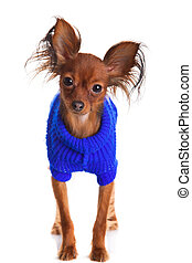 Toy terrier. Russian toy terrier on a white background. Funny little dog