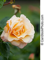 Cream rose with water drops on petals