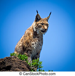 lynx - portrait of a lynx sitting