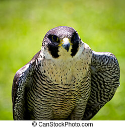 bird of prey - portrait of a bird of prey