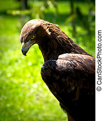 golden eagle aquila chrysaetos - portrait of a golden eagle...