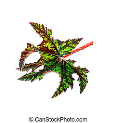 The leaves of the plant, Scientific name: Begonia cv....