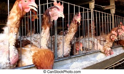 chicken farm - chickens in a small farm
